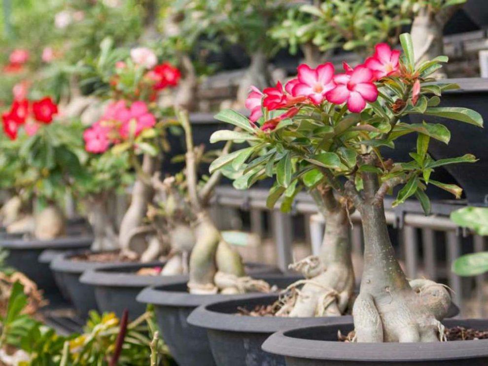 Mengenal Bunga Adenium