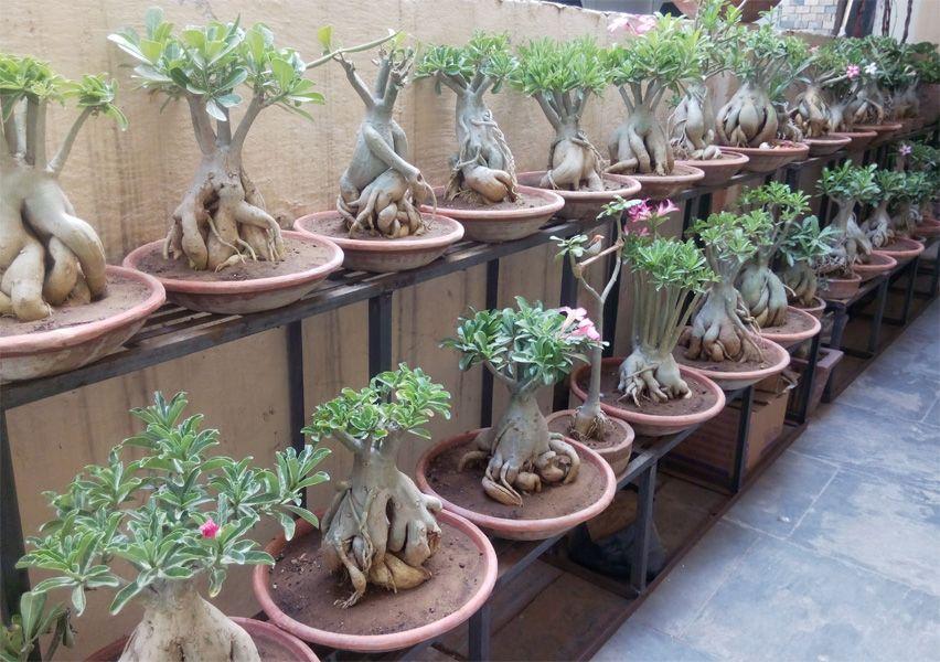 Tentang Adenium Bonsai